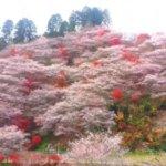 冬桜の見頃はいつ?関東と関西の名所や穴場スポットまとめ