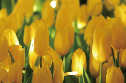 ウィンターチューリップ開花&ライトアップ